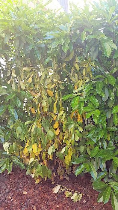 Traitement maladie laurier du caucase for Eleagnus maladie feuilles jaunes